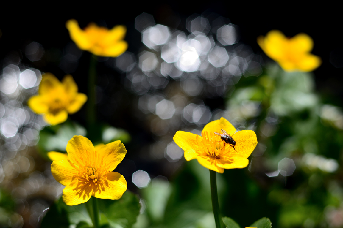 Cueillette de fleurs et plantes alpines - (®Lamborot 2017)