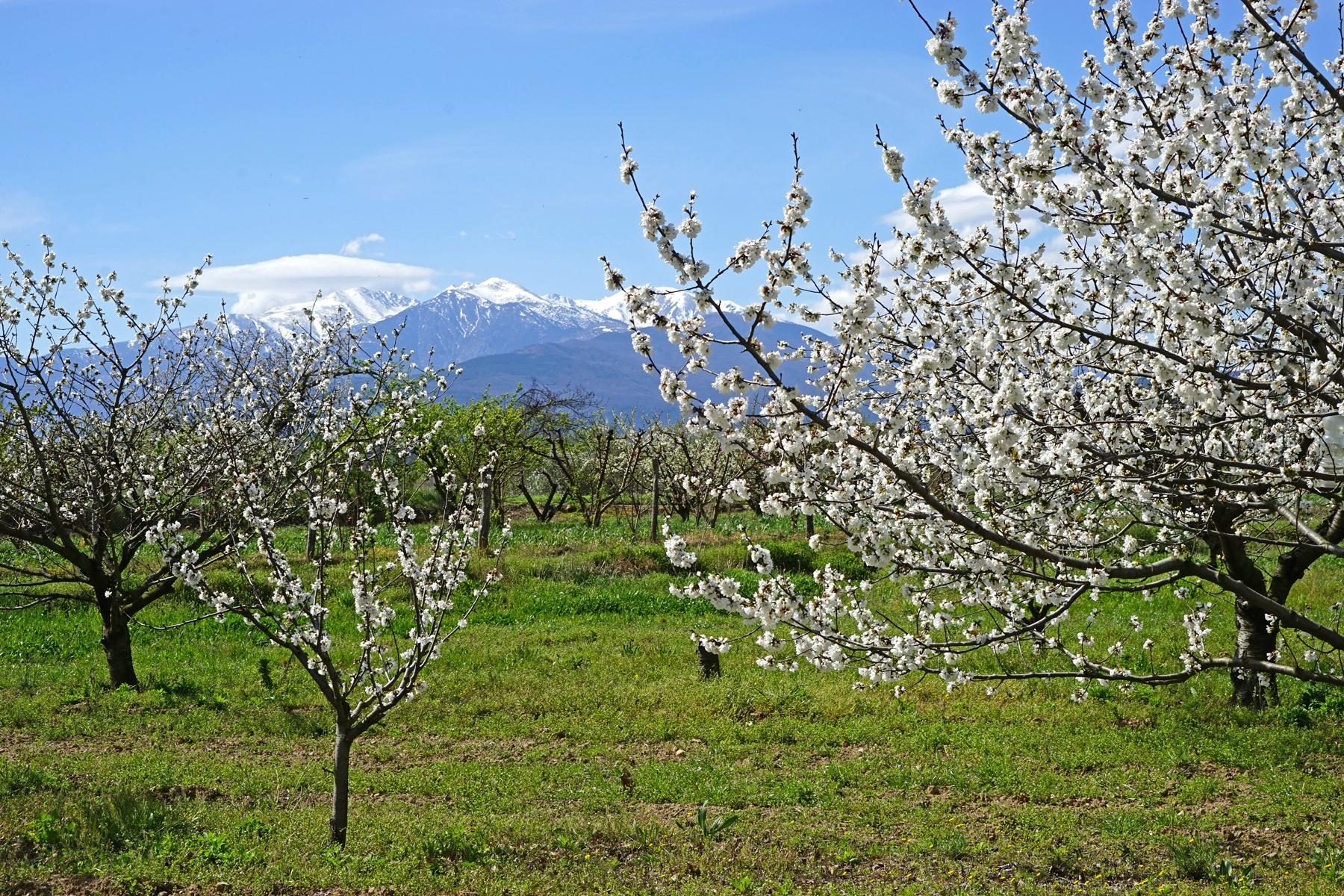 Cerisiers en fleurs sur fond de massif du Canigou (Céret) (©Jean-Pierre Dalbéra)